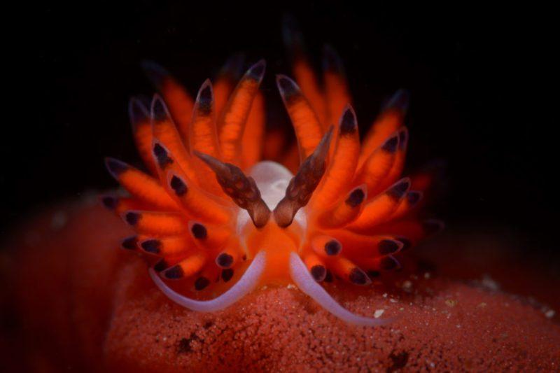 Comment utiliser la technique de mise au point rapprochée grand angle en photographie sous-marinePhoto de Cem Gazivekili (Turquie), nudibranche Batangas, Philippines.